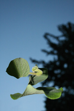 http://oleanna.de/files/gimgs/11_organic-botanic--1-pflanze1.jpg