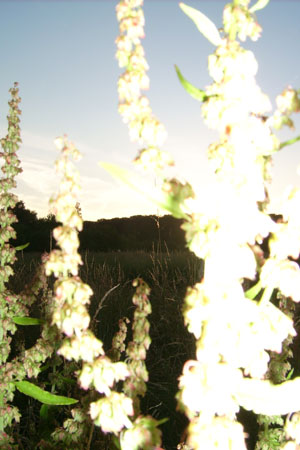 http://oleanna.de/files/gimgs/11_organic-botanic-3-ampfer.jpg