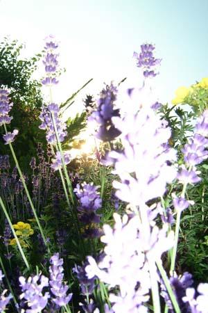 http://oleanna.de/files/gimgs/11_organic-botanic-3-lavendel.jpg